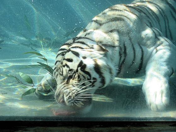 Weißer Tiger taucht nach Fleischbrocken