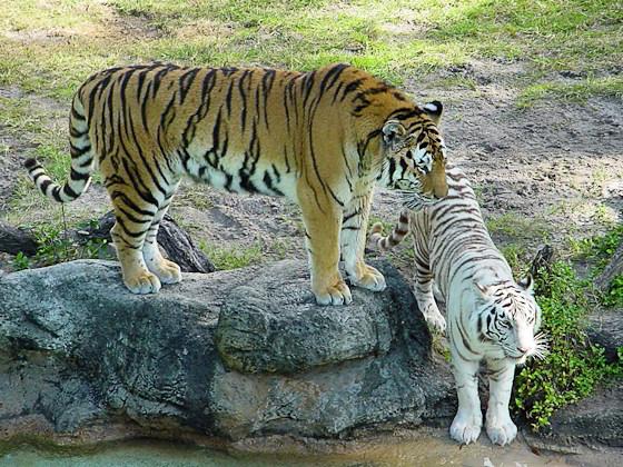 Ein weißer und ein normal gefärbter Tiger