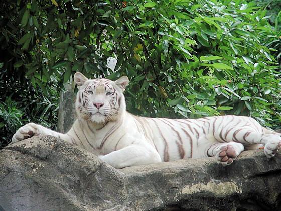 Ein Weißer Tiger liegt auf einem Felsen